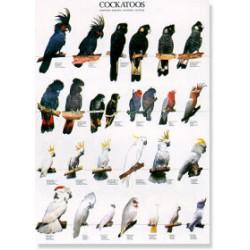 Poster Cacatúas