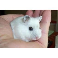 Hamster Ruso blanco