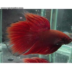 BETTA MACHO SPLENDENS 5-6 CM