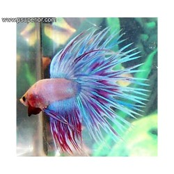 BETTA MACHO SPLENDENS CORONA