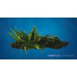 Tronco Anubia Microsorium Vesicularia