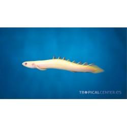Polypterus senegalus- Pez dragón albino
