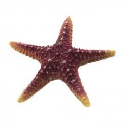 Estrella de mar Violeta