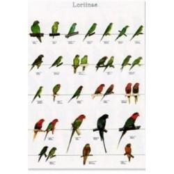 Poster Loris 3