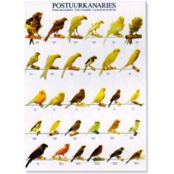Poster Canarios de Postura