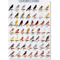 Poster Canarios de Color 1