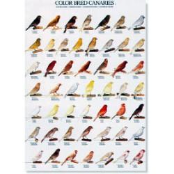 Poster Canarios de Color 2