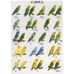Poster Forpus