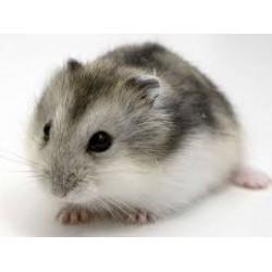 Hamster Ruso gris