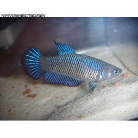hembra de betta pez