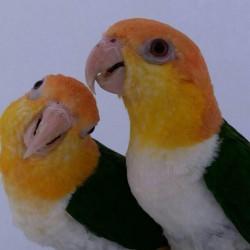 Loro CAIQUE de cabeza naranja criado a mano