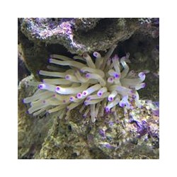 Caribbean Anemone Lila