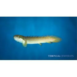 Polypterus senegalus- Pez dragón