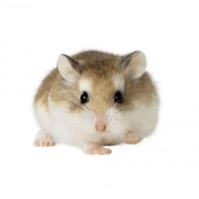 Hamsters Roborowski