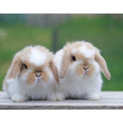 Conejo Belier mini lop