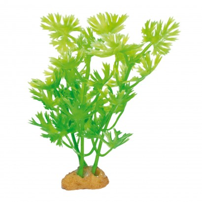 Planta 'MAGIC5 PLANTS'
